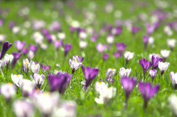 Krokusami wiosna w Krakowie się zaczyna